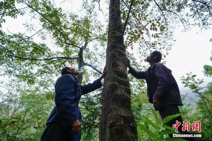 [最美林业故事]贵州大方大山里的割漆人