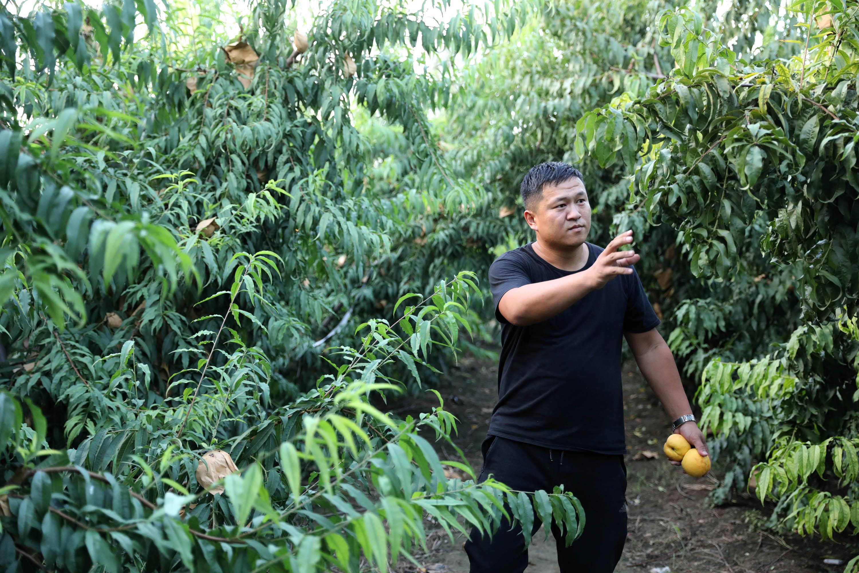 河南温县:文艺青年种冬桃创业 ,仍坚持自己的