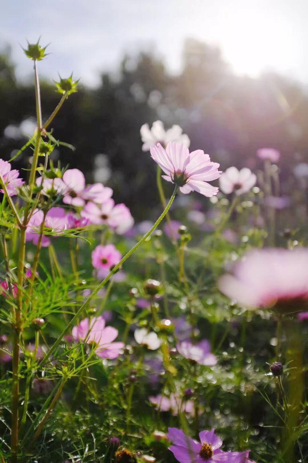 人生不向花前醉,花笑人生也是呆_人生花开花落作文_勋章花 不开花