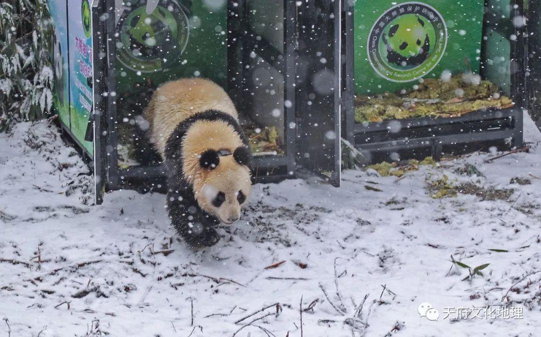 今日两只大熊猫放归自然,专家解读为何放归大