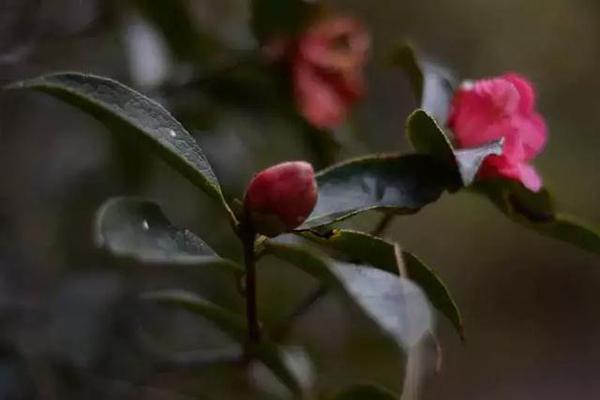 你在冬日的冷风中看大雪纷飞我在腾冲的暖阳里赏茶花浪漫