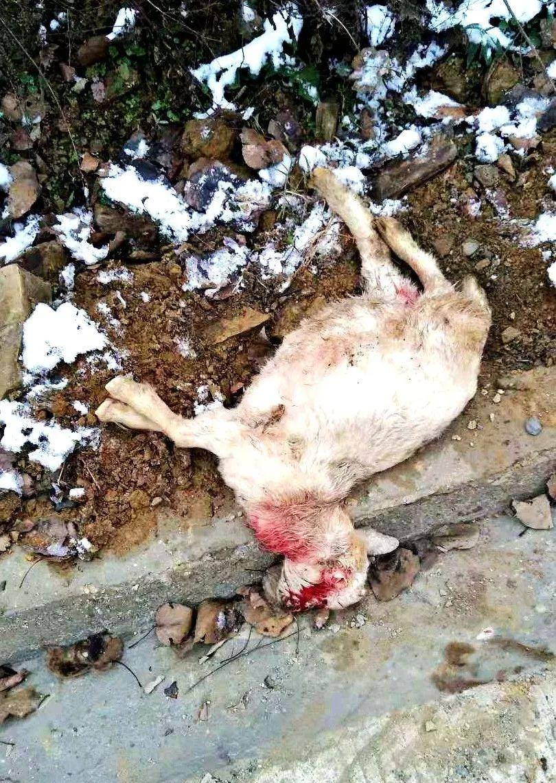 恶狗咬死3只山羊 民警仗义出手捕杀