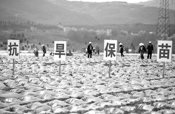 云南省烟草专卖局党员干部和烟农一起抗旱保苗记者陈飞摄
