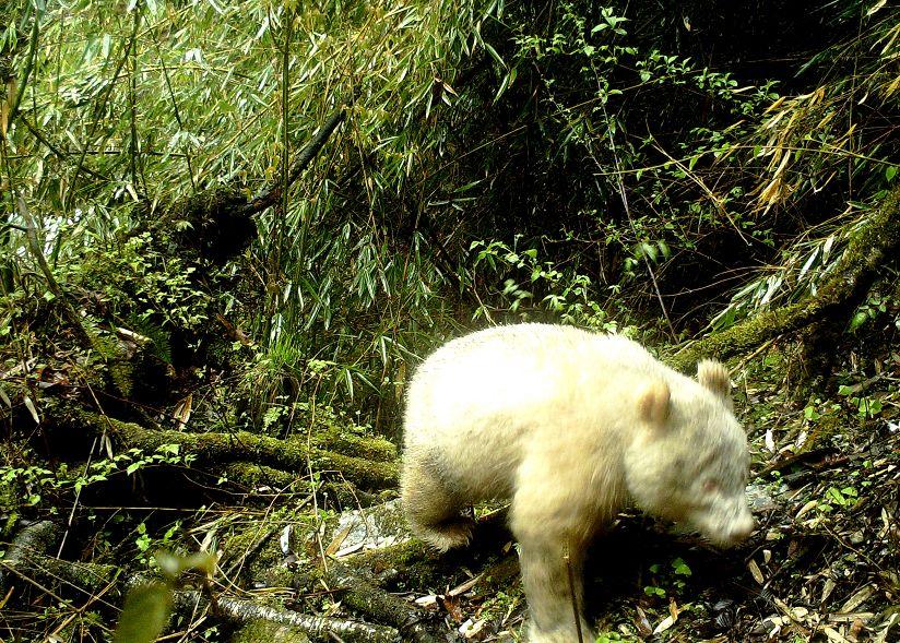 趣闻丨四川卧龙拍到全球首例白色大熊猫