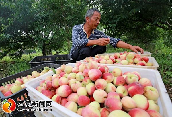 图为村民将摘下的桃儿子打包。