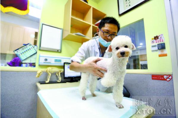 宠物医生为小狗检查身体(记者 罗韬 摄)
