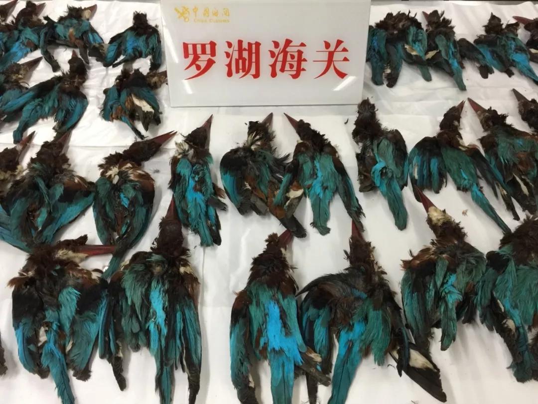 深圳海关查到可疑包裹,内藏222只白胸翡翠的剥制标本