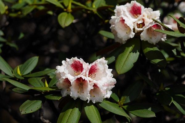 大理杜鹃 Rhododendron taliense