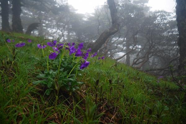 美花报春 Primula calliantha