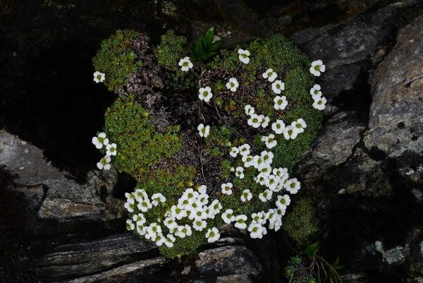 十字虎耳草 Saxifraga decussata 樱草杜鹃 Rhododendron primuliflorum