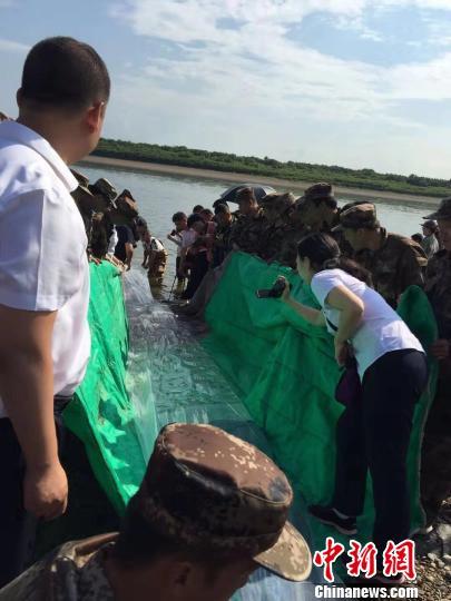 12万尾鲟鱼苗游进黑龙江。供图