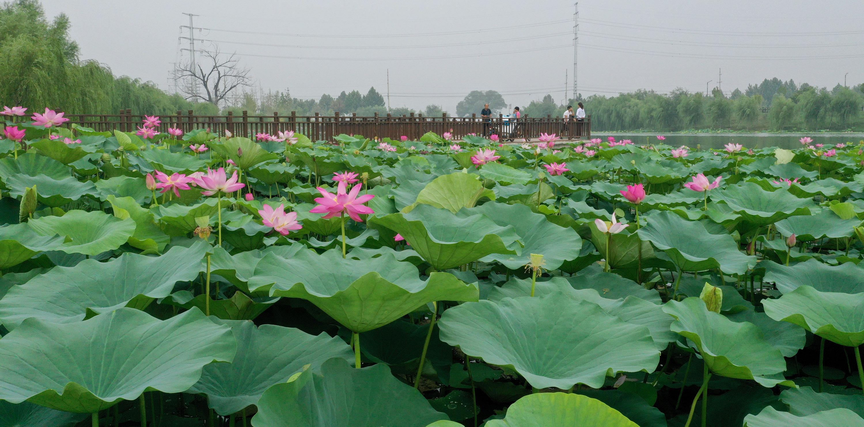 8月5日,市民在3分快3邀请码省温县环城水系南渠亲水栈道抚玩荷花。