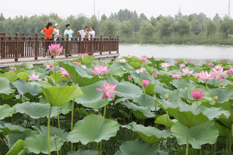 8月5日,市民在3分快3邀请码省温县环城水系南渠亲水栈道观看荷花。