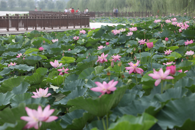8月5日,市民在3分快3邀请码省温县环城水系南渠亲水栈道欣赏荷花。
