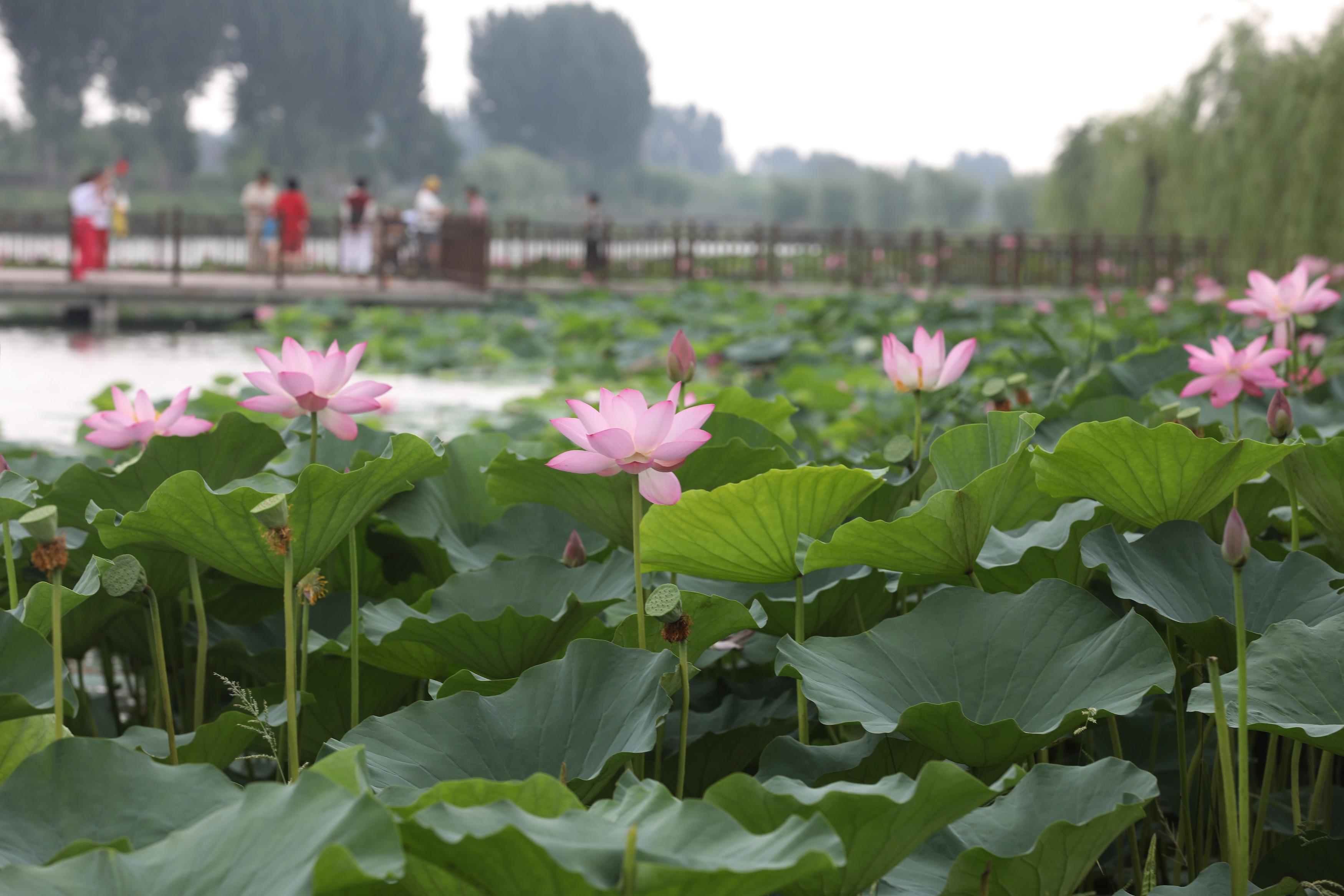 8月5日,市民在3分快3邀请码省温县环城水系南渠亲水栈道观赏荷花。