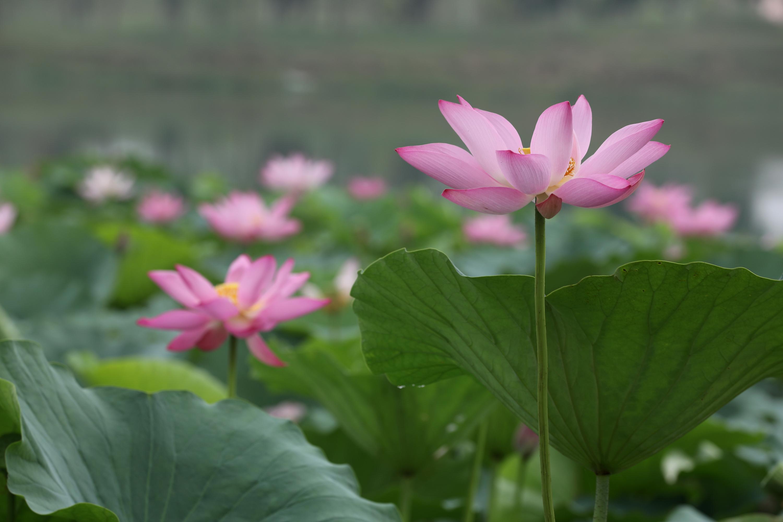 8月5日,在丽盈平台注册-丽盈官方省温县环城水系南渠拍摄的荷花。