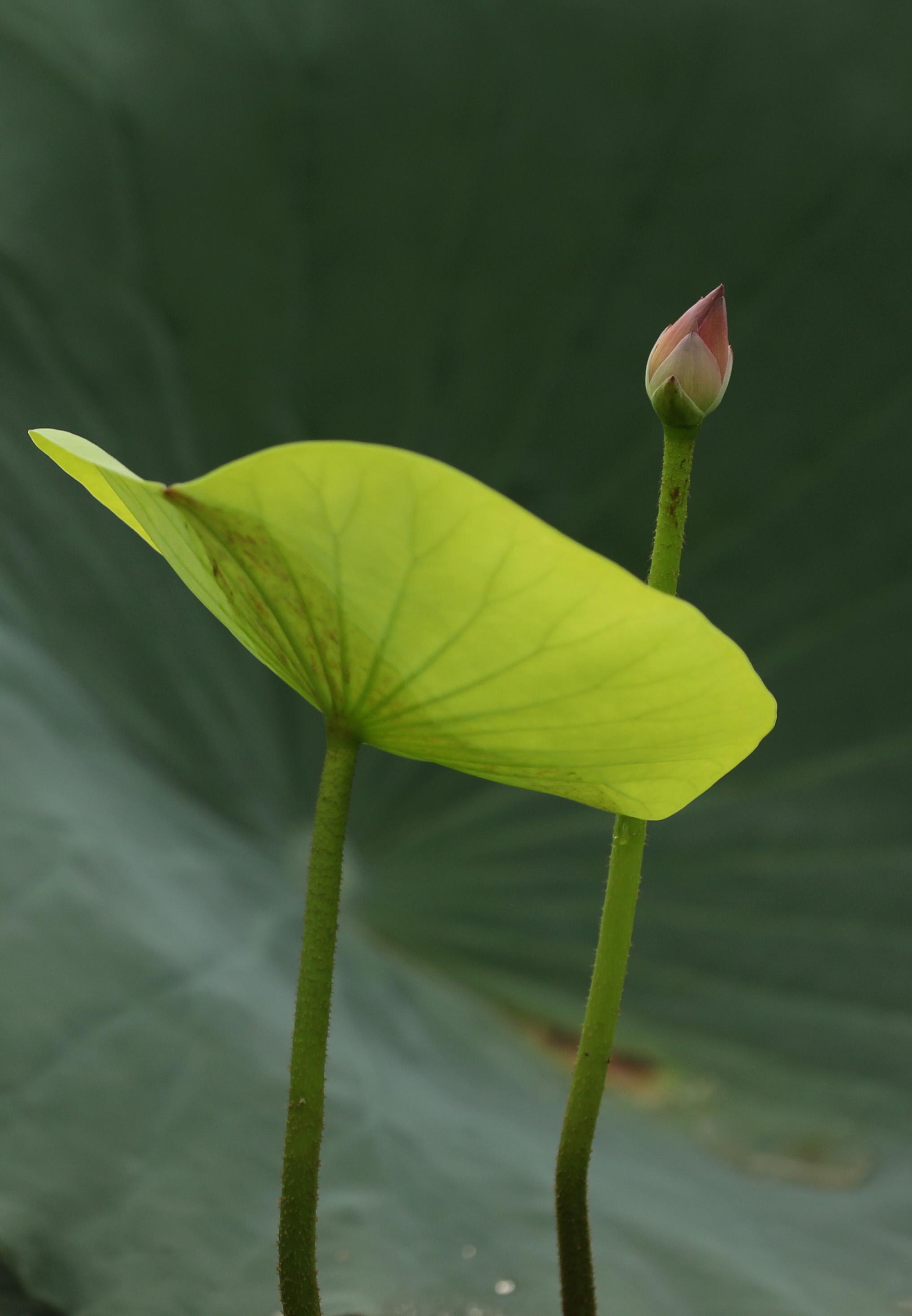 8月5日,在3分快3邀请码省温县环城水系南渠拍摄的荷花花蕾。