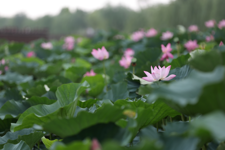 8月5日,在3分快3邀请码省温县环城水系南渠拍摄的荷花。