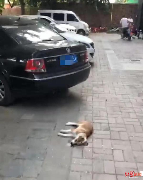 成都一小区狗狗高坠砸坏车辆当场毙命,物业:自己跳下去的