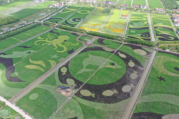上海市崇明区横沙城的创意火稻绘。本文图片均由 崇明区 供图