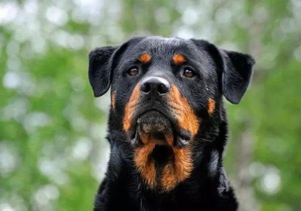 烈性犬竟通过杂交犬类目获合法犬证,上海警方将回访排摸
