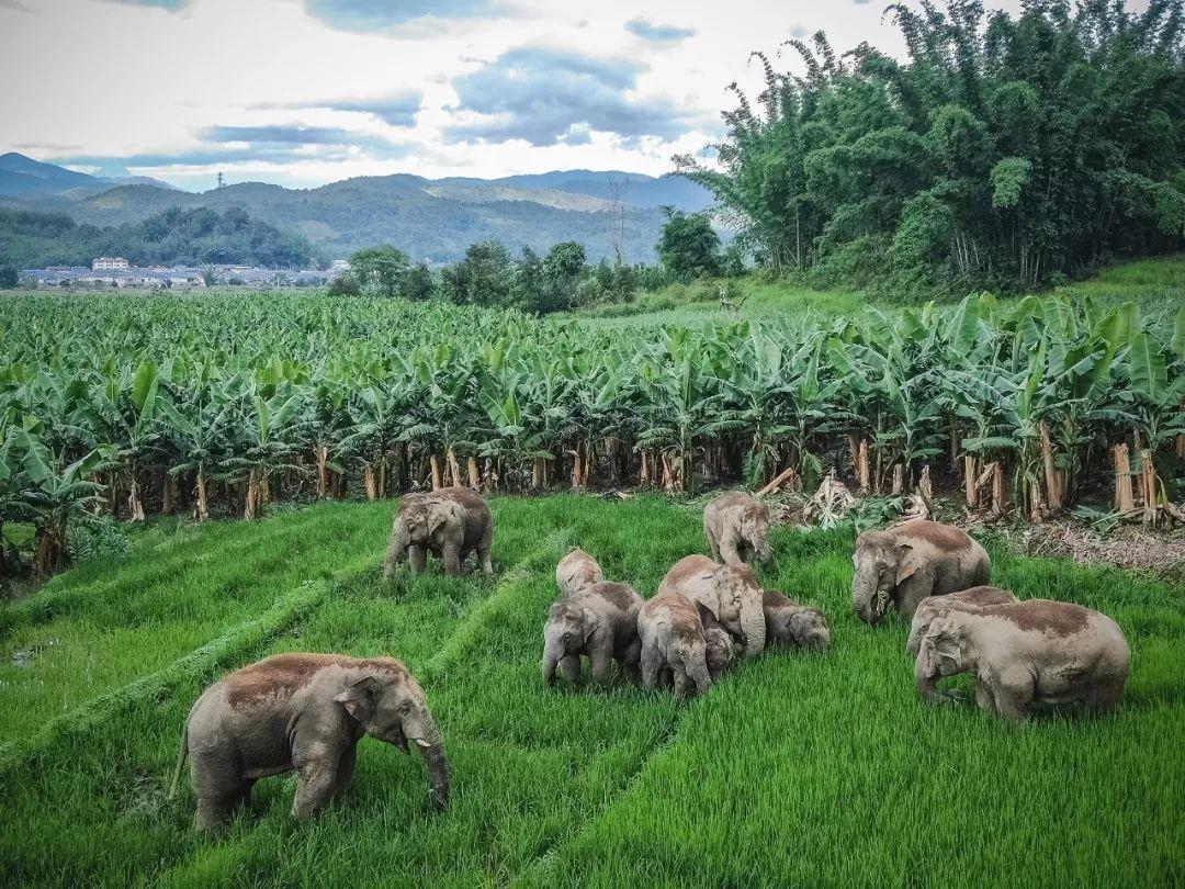 大象在农田觅食