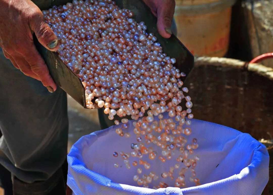 《极速时时彩APP下载》_【农业】珍珠、香榧、蓝莓……诸暨现代农业产