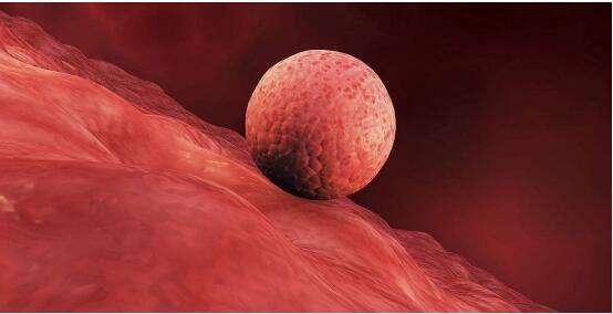 """中国的科学家打开了人类胚胎着床""""黑匣子""""。"""