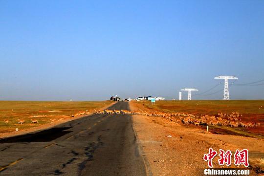 可可西里藏羚羊在五道梁地区迁徙。 中新网 图