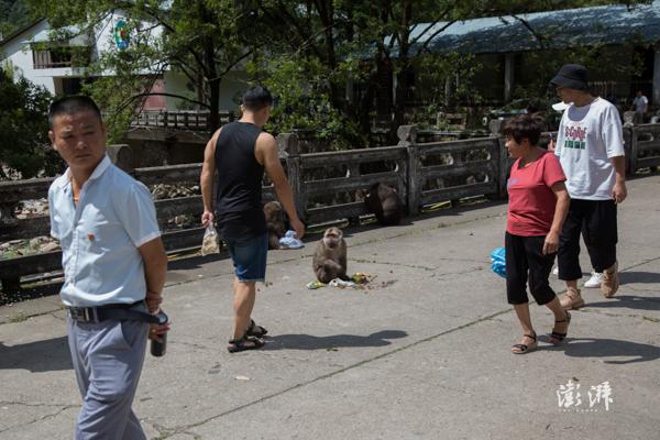 2019年8月9日,武夷山国家公园访客中心附近,近年来由于生态环境改善,越来越多的野猴下山,但也出现了一些游客投喂现象。