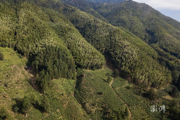 桐木村山上的茶园。