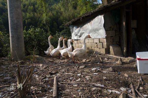 2019年8月8日,武夷山市桐木村,村民喂养的鸭子。