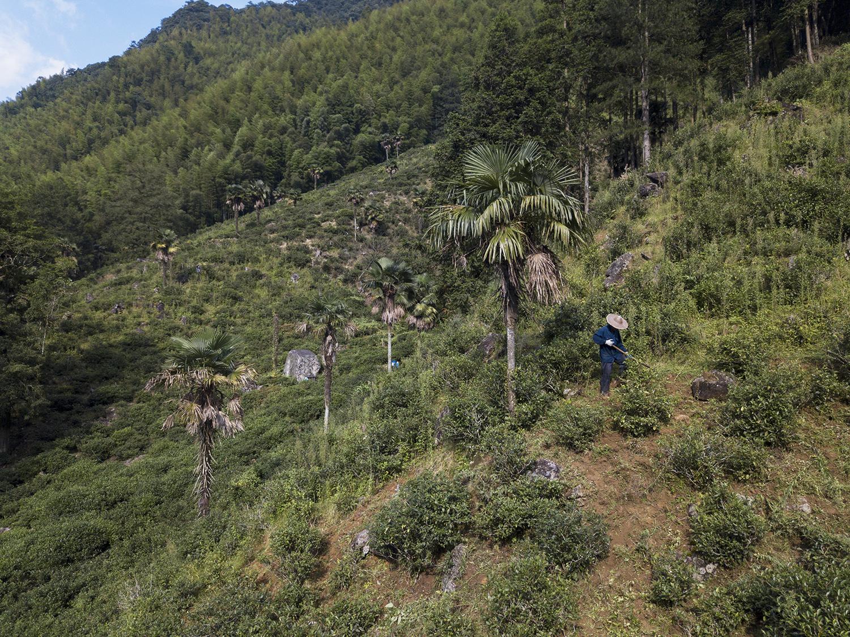 2019年8月8日,武夷山市桐木村位于山上的茶园,不同于其他集中种植的茶园,这里的茶树呈分散式种植在山坡上。