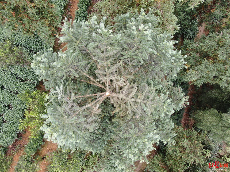 野蜂筑巢的树梢被斩断。