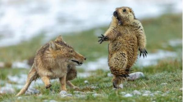 祁连山国家公园《生死对决》斩获国际野生动物摄影最高奖项
