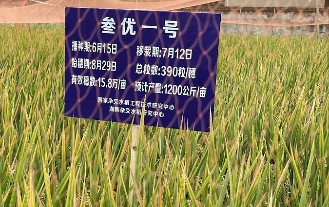 我国第三代杂交晚稻亩产突破1000公斤,袁隆平:很满意