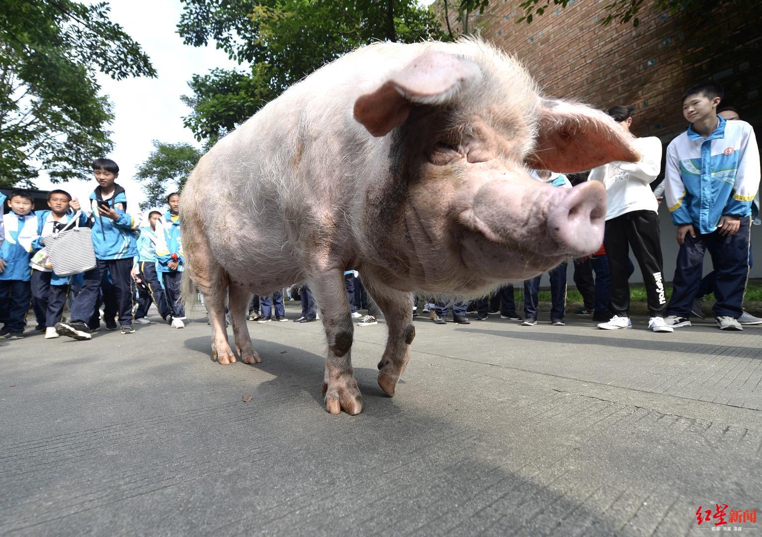 猪坚强散步。