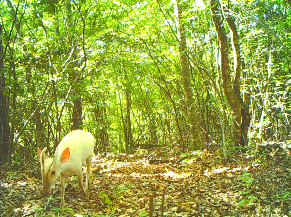 湖北神农架首次拍到罕见白化小麂,此前曾发现多种白化动物