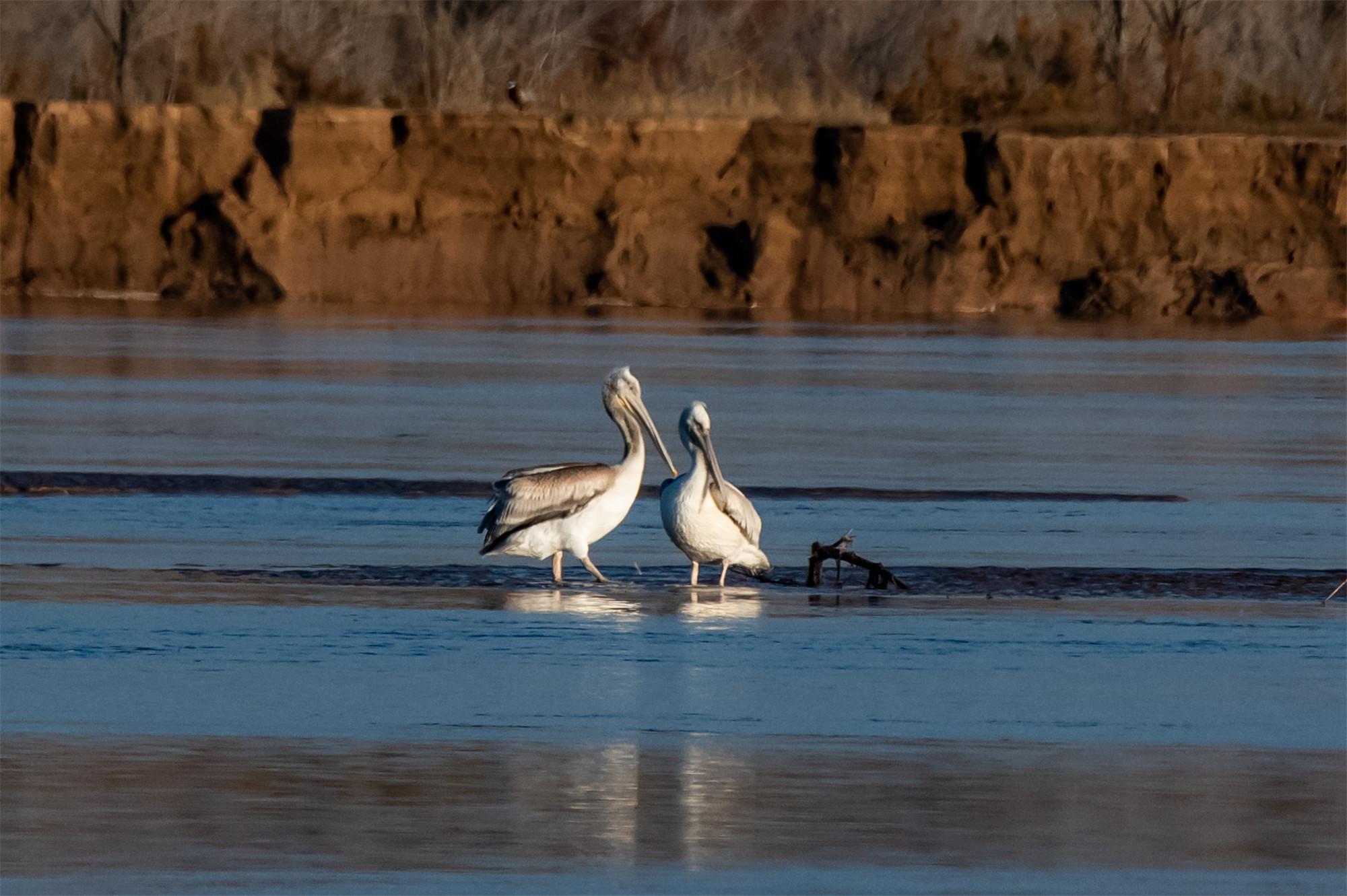 """宁夏今年首次记录到国家二级保护鸟类""""卷羽鹈鹕"""""""