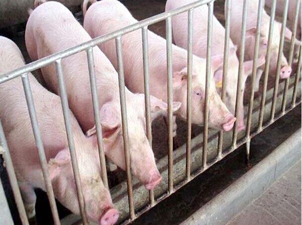 天津市出台保障生猪养殖用地措施,申请生猪养殖用地不需办理建设用地审批手续。