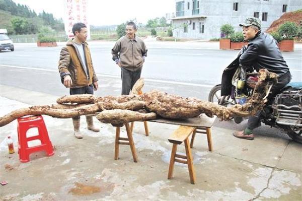 内江一村民再次挖出巨型葛根:长3米7,重210斤