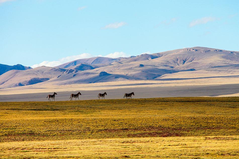 2016年9月26日,青海可可西里无人区宁静旷远的风景,藏野驴、藏黄羊等这片土地的主人们自由自在地觅食,四周一片安宁祥和。 ICphoto 资料图