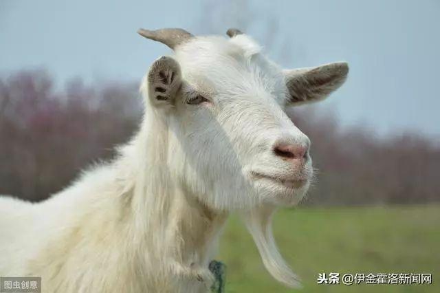 内蒙古11个品牌荣登中国农业品牌目录 阿尔巴斯绒山羊上榜