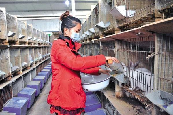 东兴区返乡创业青年刘秀梅给兔子喂饲料