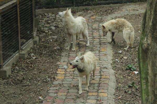 几匹北极狼在上海动物园内
