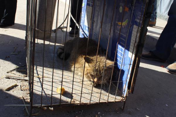 濒危珍稀野生动物荒漠猫现身