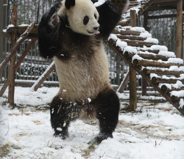 国家一级保护陆生野生动物有大熊猫