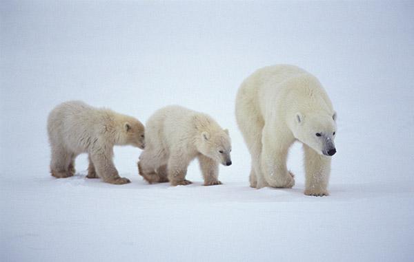 北极动物照片合成