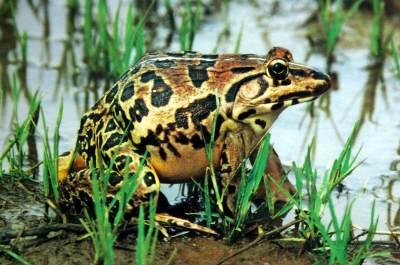 国家二级重点保护动物虎纹蛙