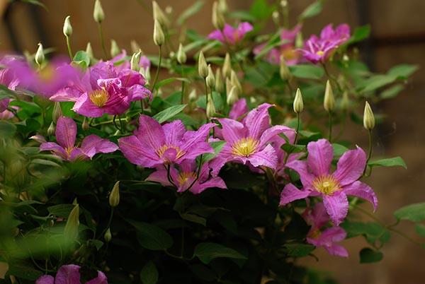 市民绿化节开幕,藤本皇后将与花中西施斗艳
